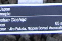 Bonsai Maple 101318