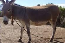 Peter-Goble-Donkey-052020
